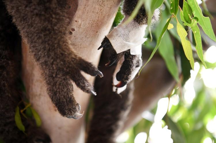 В ветеринарных центрах установили даже подобия эвкалиптовых деревьев - чтобы коалы могли восстановиться в чуть более привычной среде