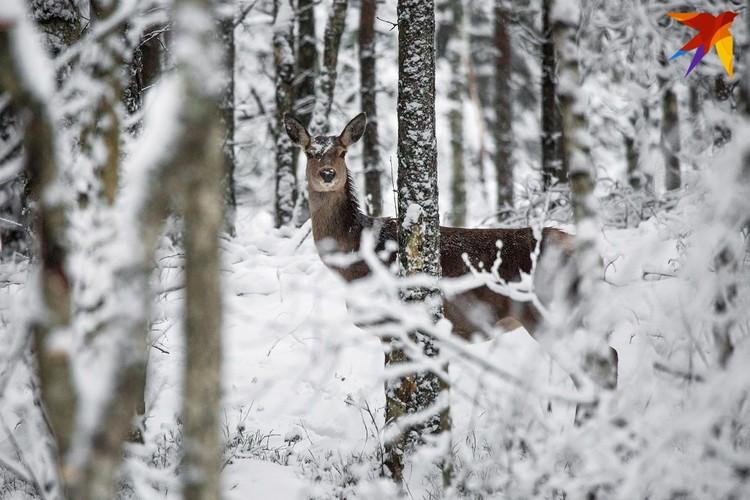 Многим животным в снежную зиму затруднительно добывать пропитание через снег.