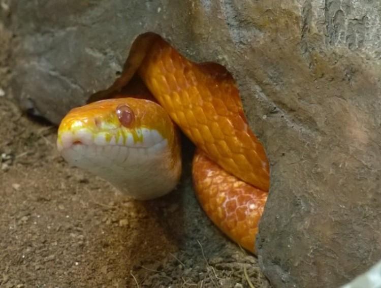 Маисовый полоз залез под камень. Фото: Дом природы