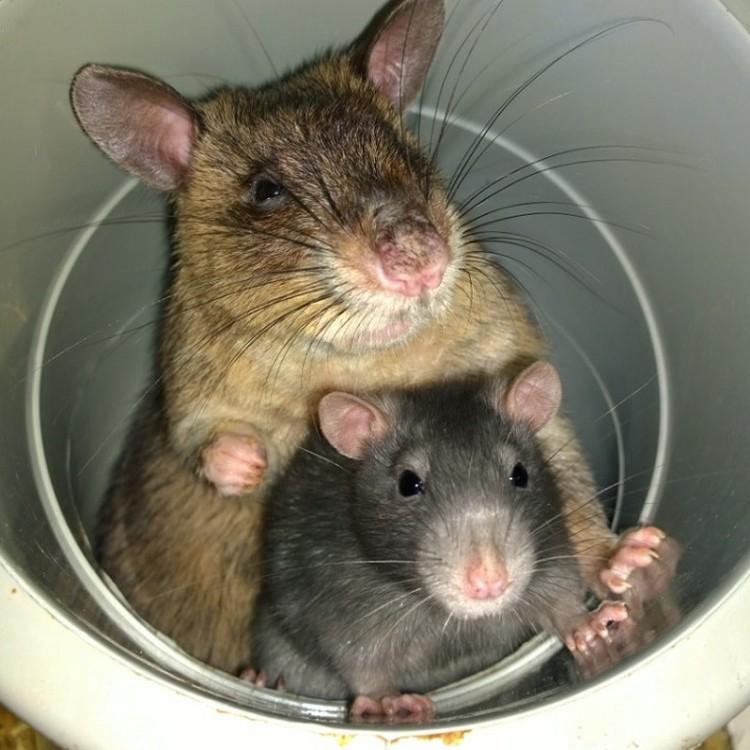 Гамбийская крыса и обыкновенная декоративная решили, что трудные времена легче переживать вместе