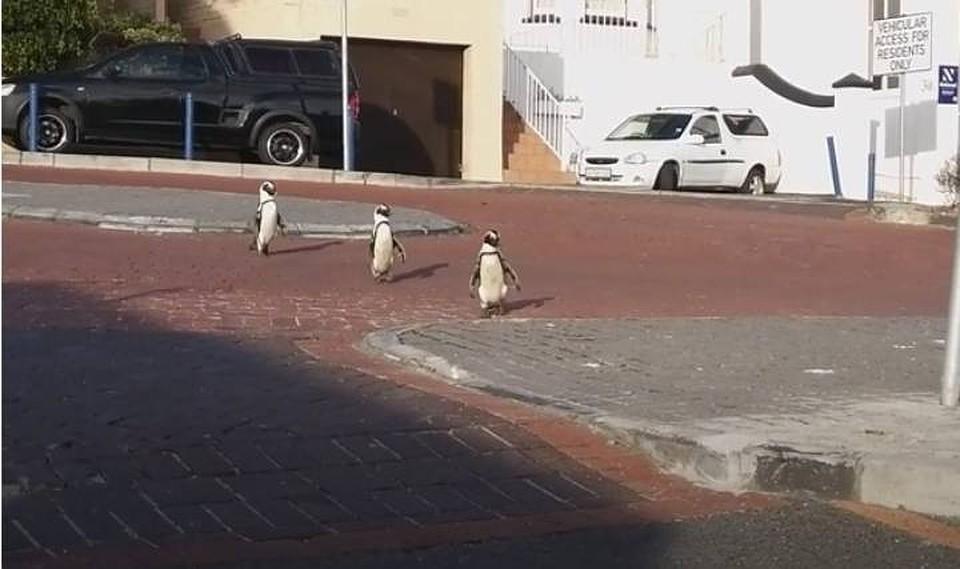 "В ЮАР ""разгулялись"" пингвины."
