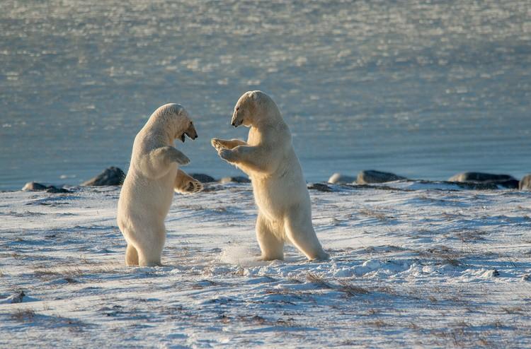 «Белые медведи». Фото Максима Деминова («Фотопроект»)