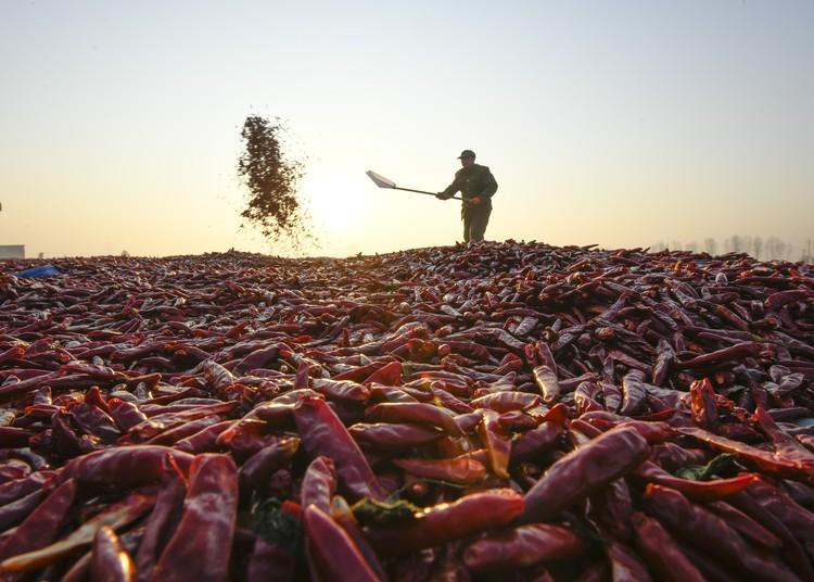 Сбор урожая перцев в Китае.