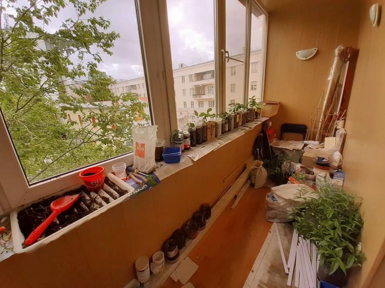 Деревья Сергей Елизаров выращивает прямо на балконе.