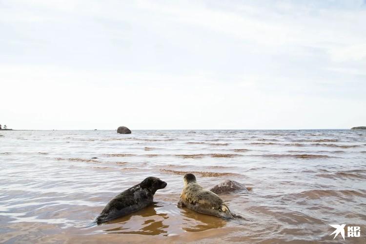 Один тюлень был совсем диким и сразу же уплыл вдаль, не попрощавшись, а другие немножко покрасовались на камеру. Фото: ГУП «Водоканал Санкт-Петербурга»