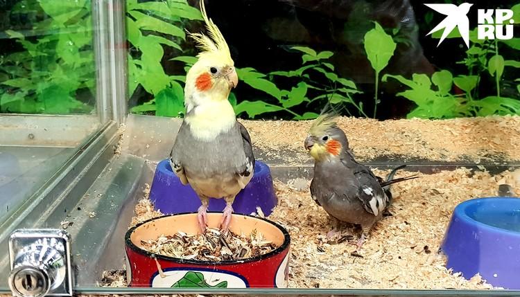Попугаи - самые популярные питомцы в зоомагазине.