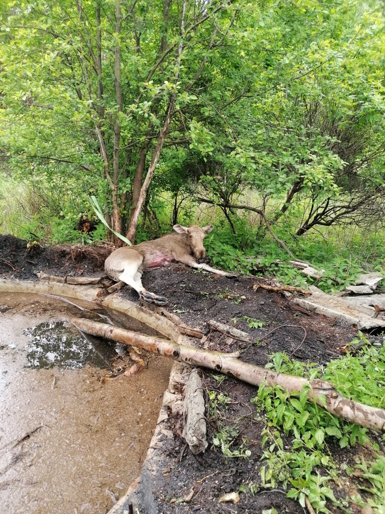 После спасения животное отпустили обратно в лес. Фото: пресс-служба ГУ МЧС по Свердловской области.