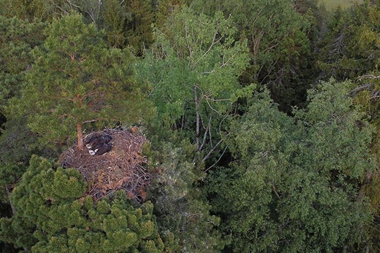 Гнездо редкой птицы- на 30-метровой сосне. А где, вам никто не скажет, беспокоить птиц нельзя. Фото: Денис КИТЕЛЬ, АПБ.
