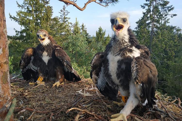 Как правило, беркуты воспитывают одного птенца. Если выживают оба, значит, с кормовой базой у этих птиц все в порядке. Фото: Денис КИТЕЛЬ, АПБ.