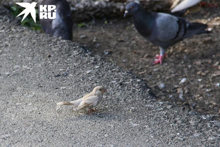 Птичка, конечно, не такая белая, как снег в Антарктиде, но на фоне сородичей очень выделяется.