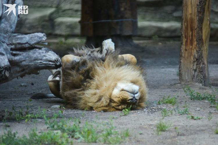 Лев улегся на спинку, как обычная кошка.