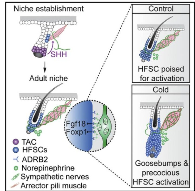 Схема образования гусиной кожи из научного журнала: в процесе участвуют ненрвы, нейротрансмиттеры и стволовые клетки.
