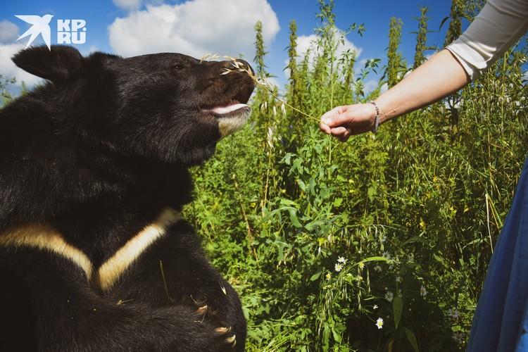 Летом мишки находят витамины в траве, которая растет рядом.