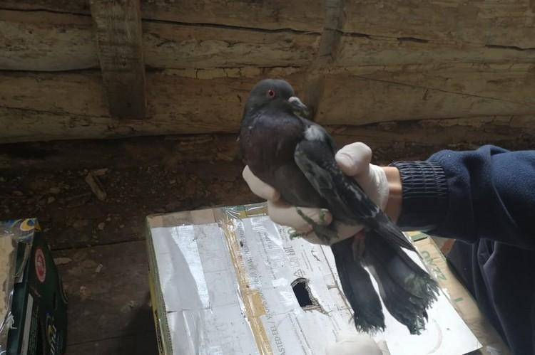 Для приманки соколов использовали голубей. Фото: СУ СК РФ по Иркутской области