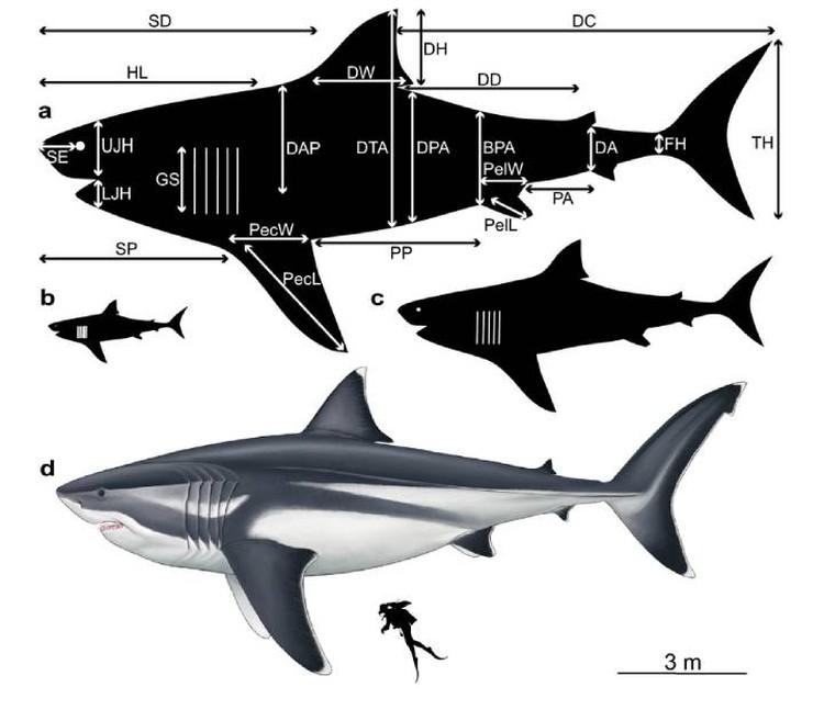 Ученые определили размеры всех частей тела мегалодона.