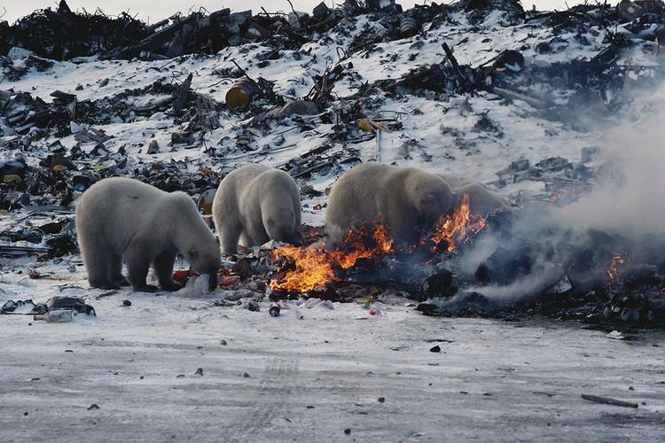 Медведи паслись на помойках, прекрасное место, чтобы пережить тяжелые времена.