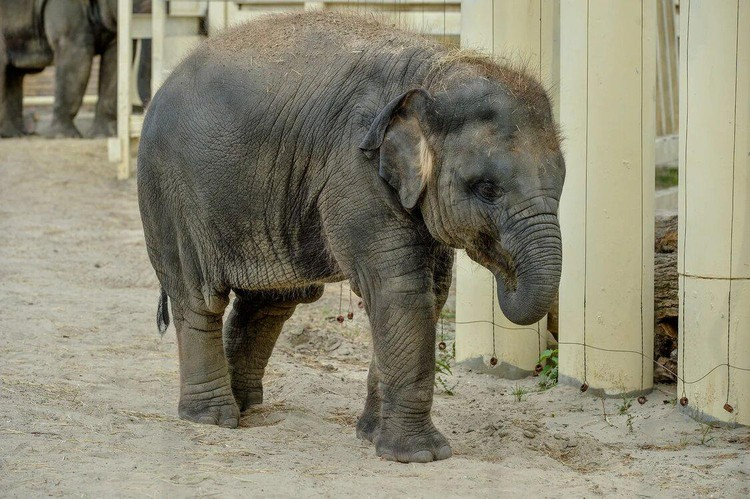 Эдгард Запашный дал слонихи новое имя - Николь, чтобы он не пугалась криков в цирке. Фото: зоопарк Ростова-на-Дону