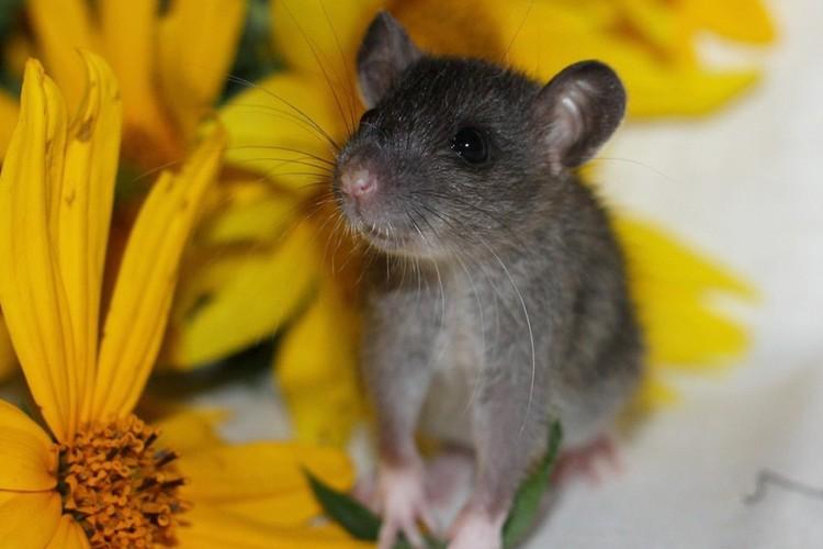 Маленьких крысят отдают петербуржцам, у которых прежде уже жили грызуны. Фото предоставлено приютом.