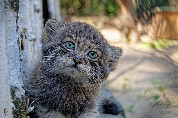 Цвет глаз у манулов менялся три раза. Фото: новосибирский зоопарк