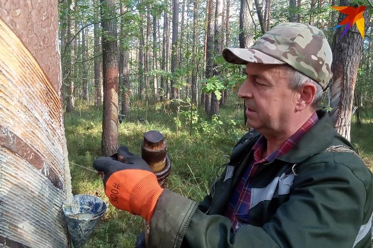 Надрезы на дереве вздымщик делает раз в пять-шесть дней.