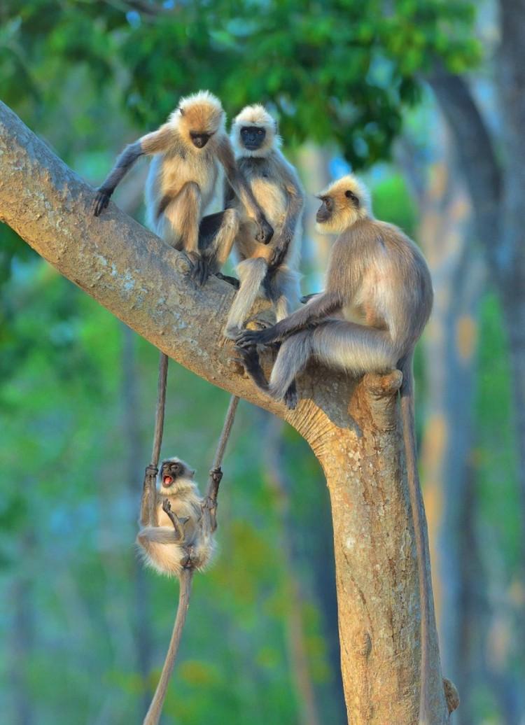 Крыла-а-атые макаки летят, летят, летя-я-ят! Фото: © Thomas Vijayan/Comedy Wildlife Photo Awards 2020