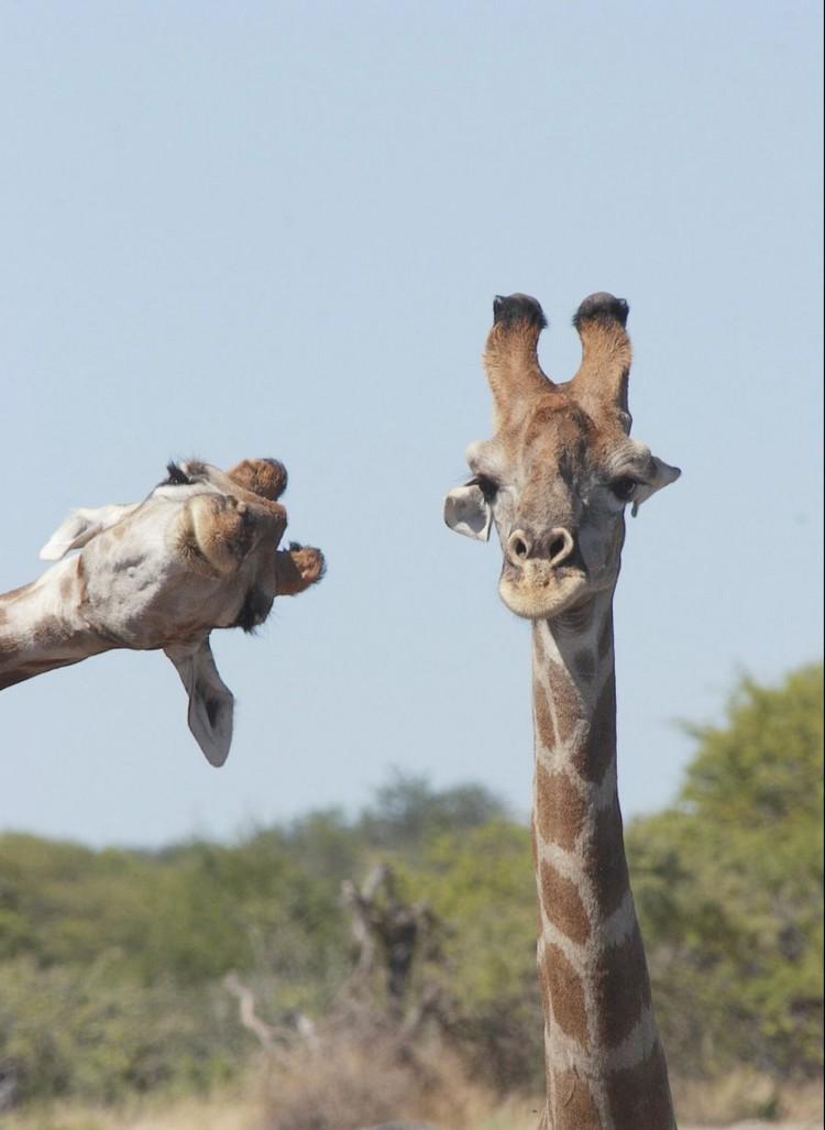 «Фотобомба от жирафа». Сколько раз в человеческом мире во время съемки обязательно кто-то влезет в кадр. В животном мире так же. Фото: © Brigitte Alcalay Marcone/Comedy Wildlife Photo Awards 2020
