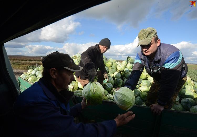 Ежегодно ольшанцы выращивают и продают сотни тонн огурцов, капусты, яблок и другой продукции.
