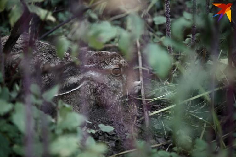 Заяц Мася теперь живет в питомнике роз Ботанического сада.