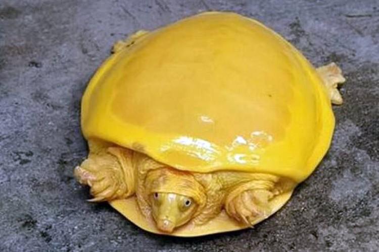 Желтые черепахи - почти альбиносы