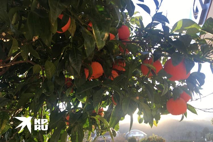 Мандарины можно есть прямо с дерева