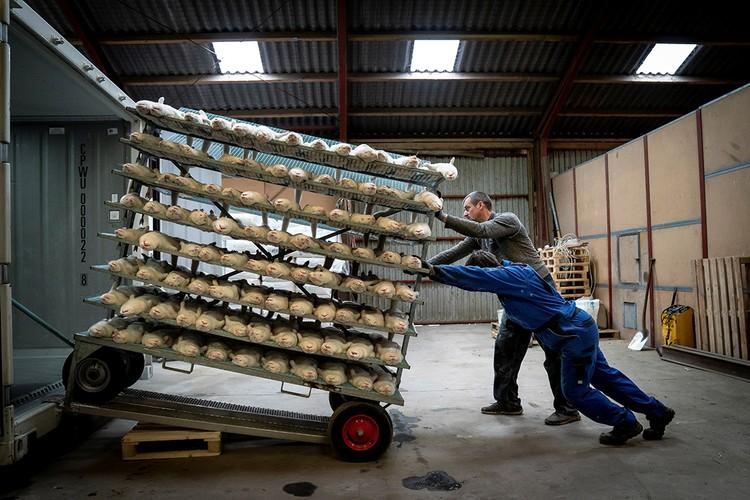 В целях безопасности власти Дании приняли решение об уничтожении 17 миллионов норок.