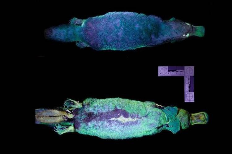 Утконос, светящийся разными оттенками, под ультрафиолетом.