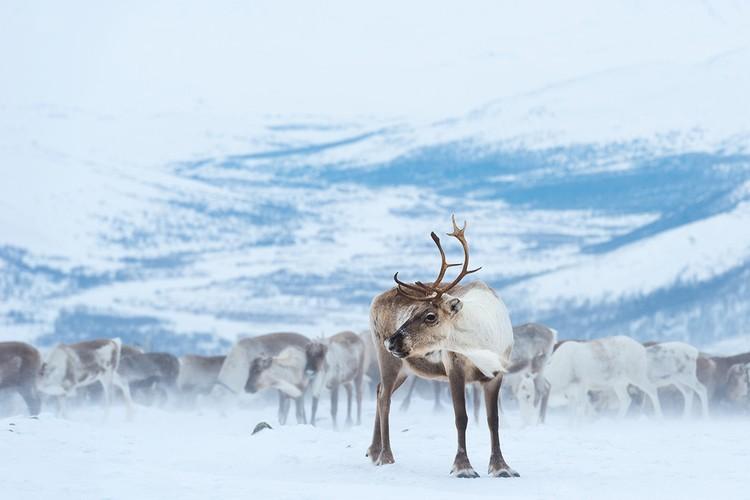 Главные виновники резкого сокращения популяции диких северных оленей - браконьеры. Фото: Светлана Горбатых / WWF России