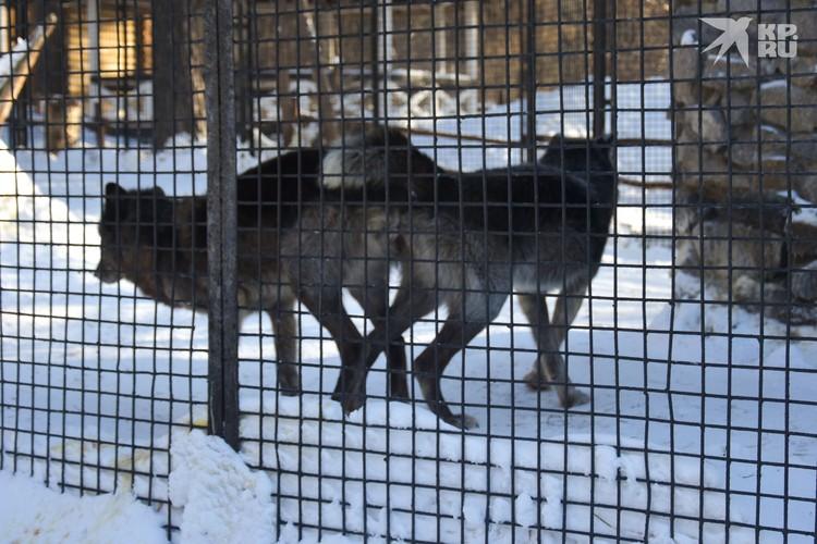 Канадские волки во время спаривания пронзительно воют.