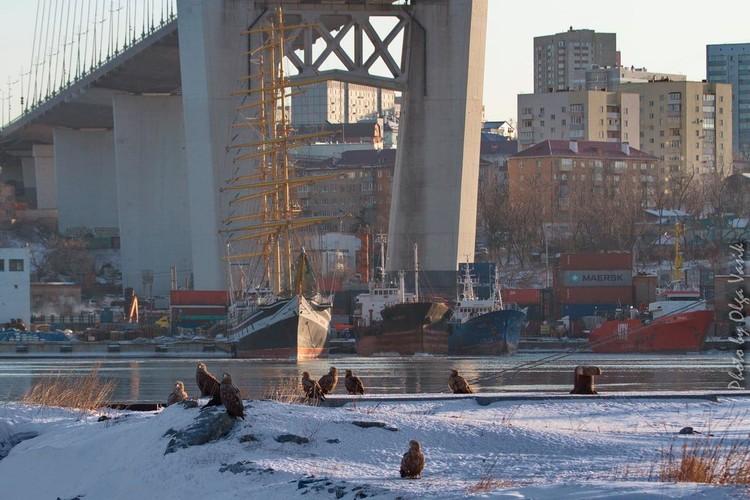 """""""Тусовка"""" орланов-белохвостов прямо около Золотого моста во Владивостоке"""