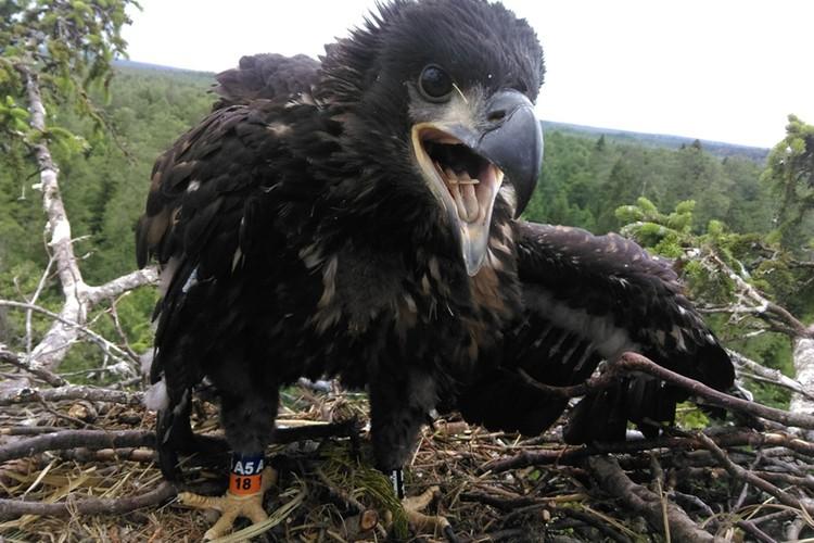 Вот таким был птенец, когда его нашли и окольцевали. Фото: Александр Рак.