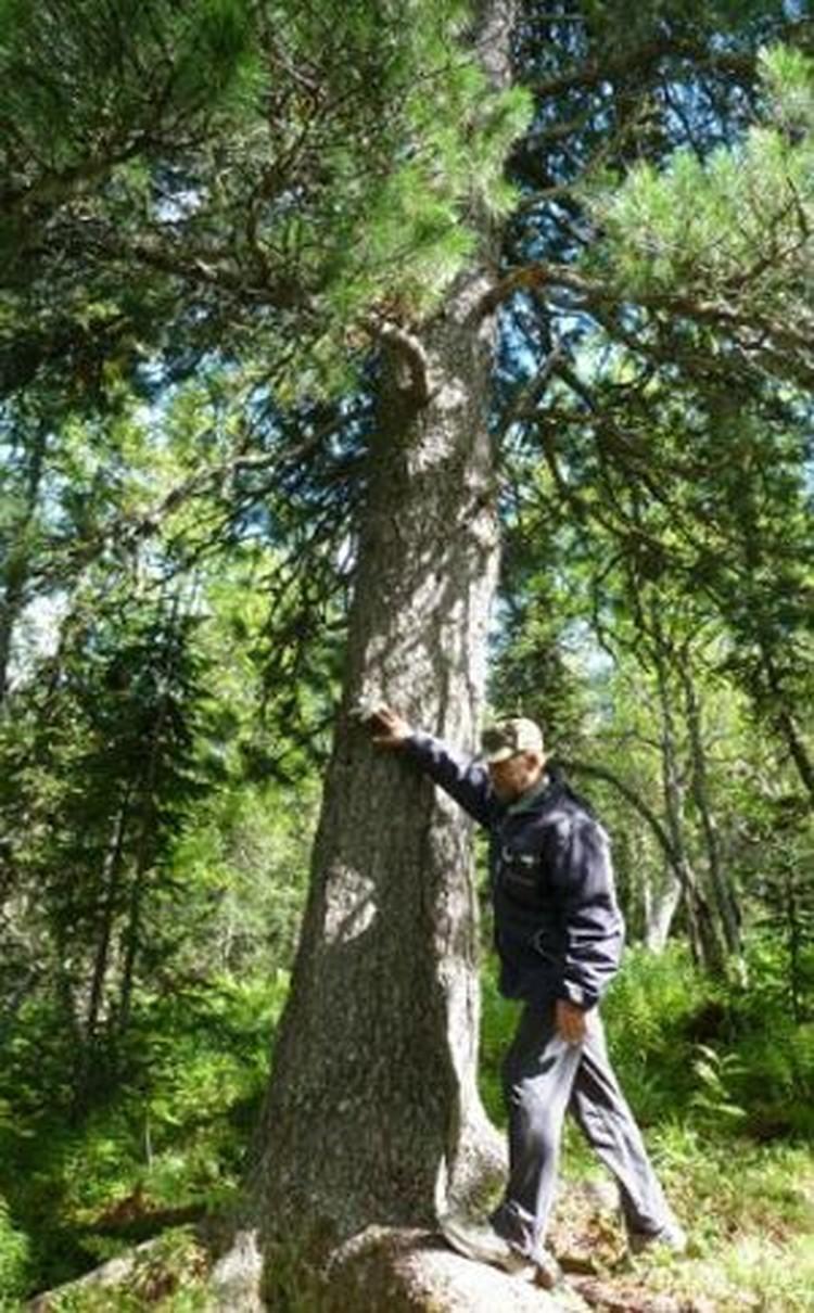 Руководитель Фонда памяти погибшей группы Юрий Кунцевич показывает то самое дерево.