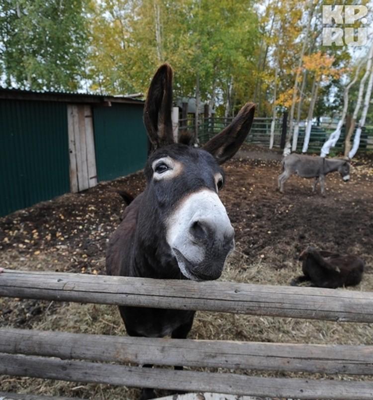 Среди прочих на ферме живут и ослы.