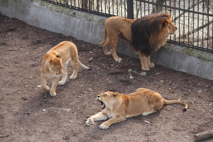 Львы полтора часа зевали, не останавливаясь.